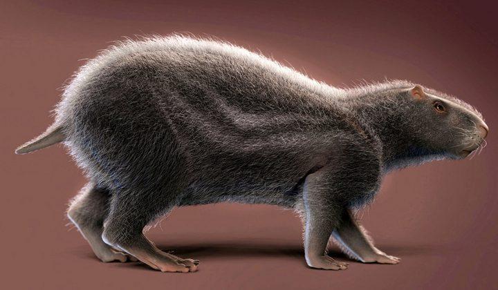 علماء يدرسون حفريات تعود لجرذ بحجم الإنسان !