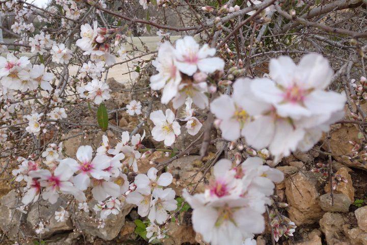 أزهار اللوز أولى تباشير الربيع بقرية مردة - محافظة سلفيت.