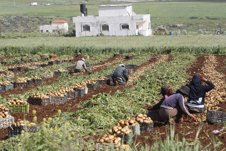 مزارعون يجمعون المحصول خلال موسم البطاطا في الاغوار الفلسطينية.