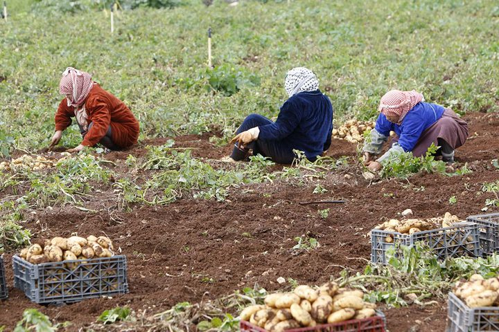 مزارعون يجمعون المحصول خلال موسم البطاطا في الاغوار الفلسطينية