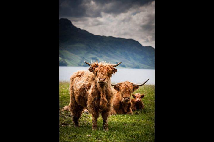 إدانة رجل اسكتلندي وتغريمه لأنه لكم خروفين