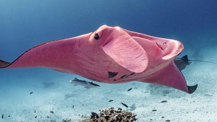 """شاهد """"شيطان البحر"""" الوردي الوحيد في العالم"""