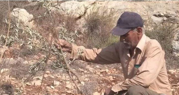 مستوطنون يقطعون اشجارا غرب سلفيت