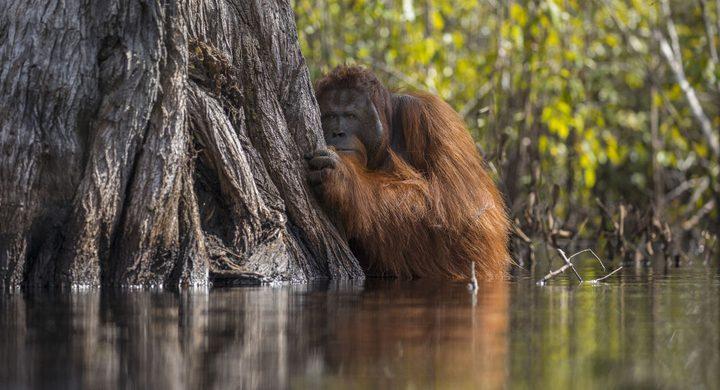 حديقة حيوان مصر تعالج أنثى إنسان الغاب من الاكتئاب