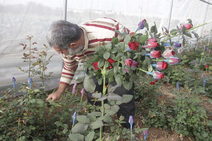 مزارع يقطف الورد الجوري في مزرعته قرب مدينة طولكرم