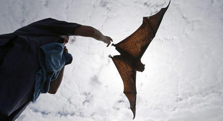 أسراب من الخفافيش الكبيرة الحجم تثير الرعب في السعودية