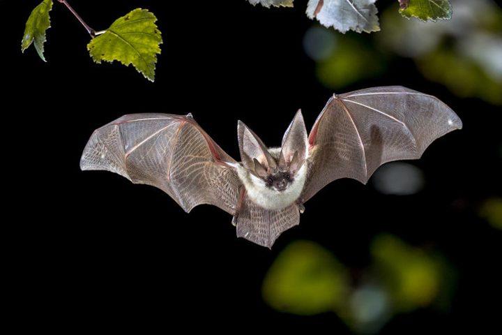 الغابون تحظر بيع وأكل البنغول والخفافيش خوفا من كورونا