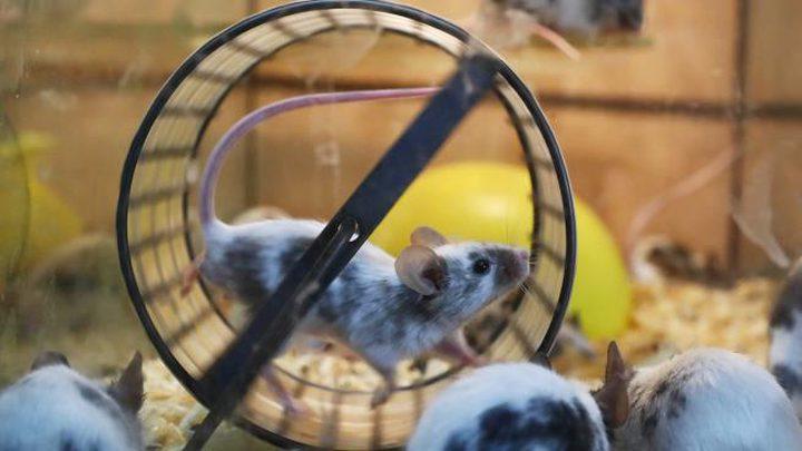 الفئران قادرة على تغيير تعابير وجهها