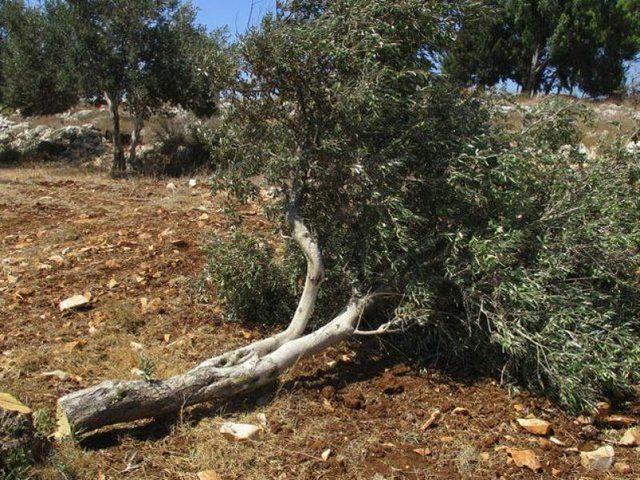 مستوطنون يكسرون 50 شتلة زيتون ببلدة الخضر في  بيت لحم