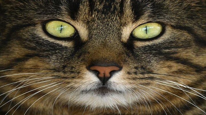 """القطط حيوانات """"مثالية"""" لاختبار لقاحات مضادة لفيروس كورونا"""