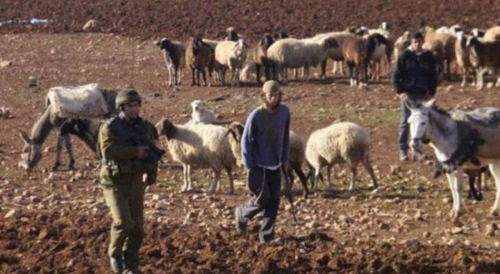 أبقار المستوطنين ترعى محاصيل المواطنين في الأغوار الشمالية