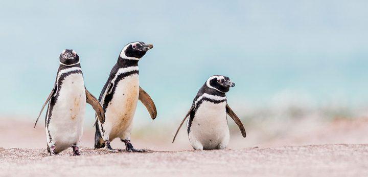 شاهدوا البطاريق تعيش المغامرات في شوارع جنوب إفريقيا