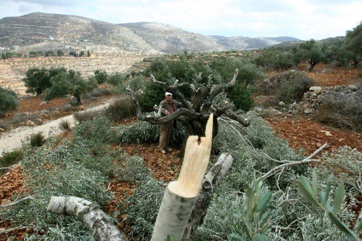 مستوطنون يقطعون 33 شجرة زيتون في بلدة الساوية