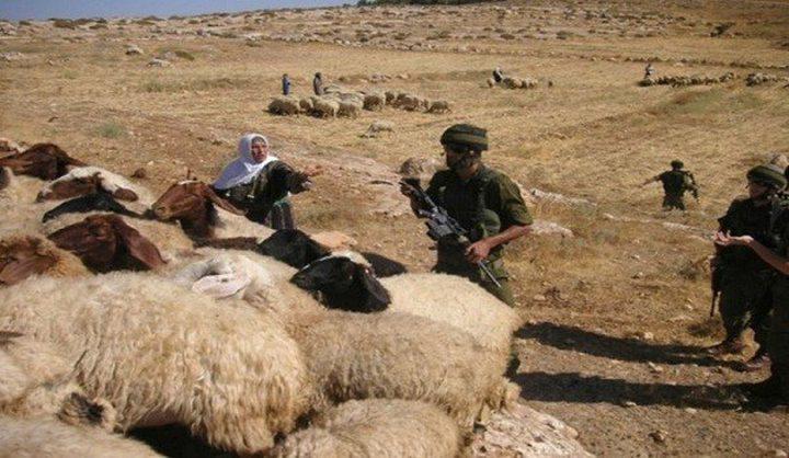 سلطات الاحتلال تطرد رعاة الأغنام ويوزع إخطارات غرب سلفيت
