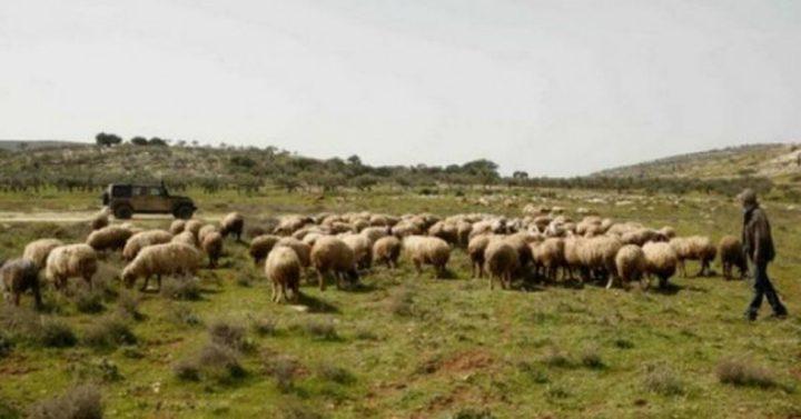 مستوطنون يعتدون على مواطن ويسرقون أغنامه شمال نابلس