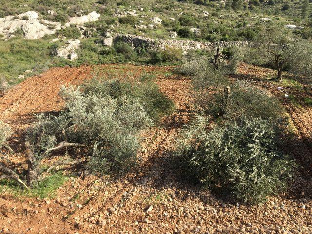 مستوطنون يقطعون أشجار زيتون شمال شرق رام الله