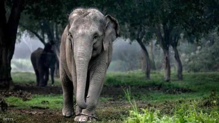 أفيال تايلاند تعود إلى موطنها الأصلي بسبب كورونا