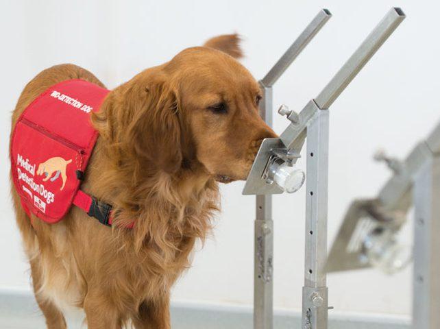 """باحثون يستخدمون """"الكلاب الطبية"""" لرصد كورونا"""