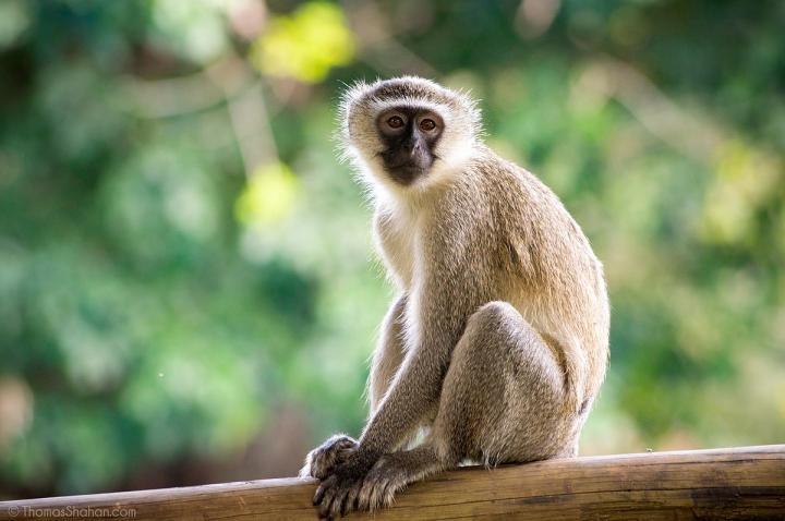 دراسة على القرود تؤكد استحالة عودة كورونا بعد الشفاء منه