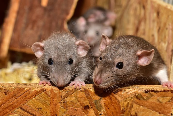 كورونا يزيد عدائية الفئران تجاه البشر لهذا السبب
