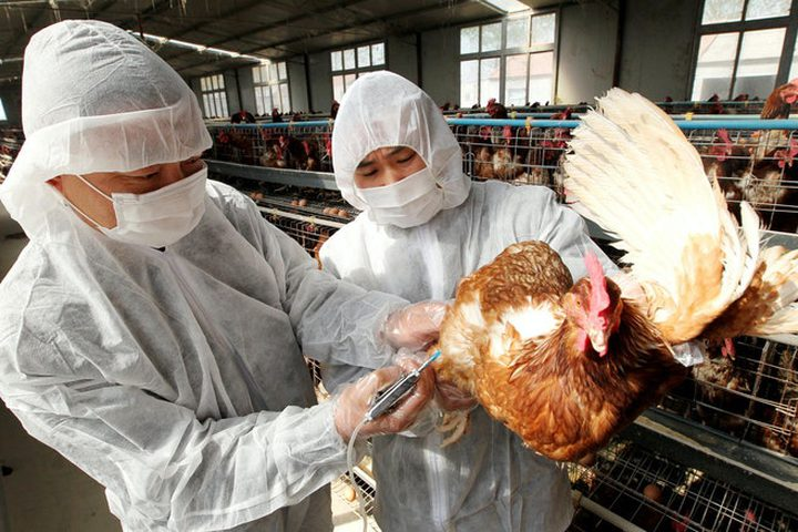 """عالم يحذر من خطر """"أوبئة الدجاج"""" القادمة على البشرية"""