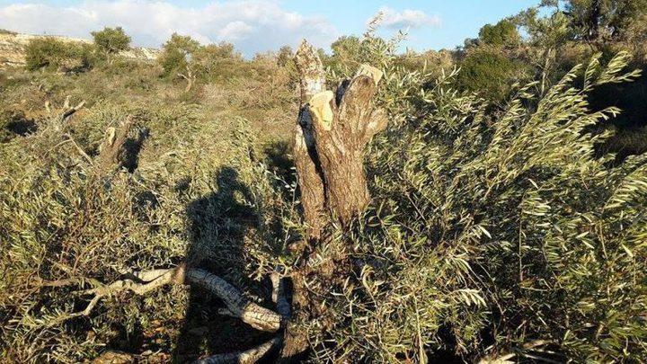 مستوطنون يقتلعون الأشجار في نابلس وسلفيت