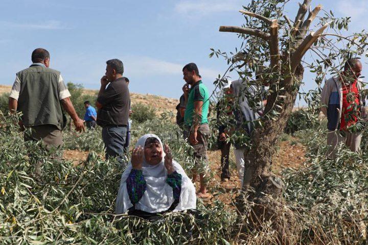 الاحتلال يقتلع نحو 200 شجرة زيتون في سلفيت