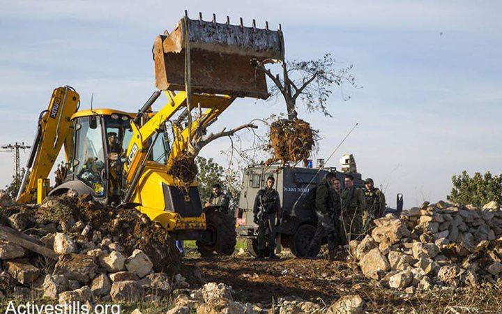 الاحتلال يقتلع أكثر من 200 شجرة زيتون في سلفيت