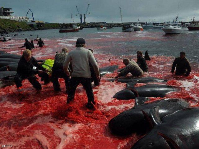 """عودة موسم """"نحر الحيتان"""" في جزر الفارو الدنماركية"""