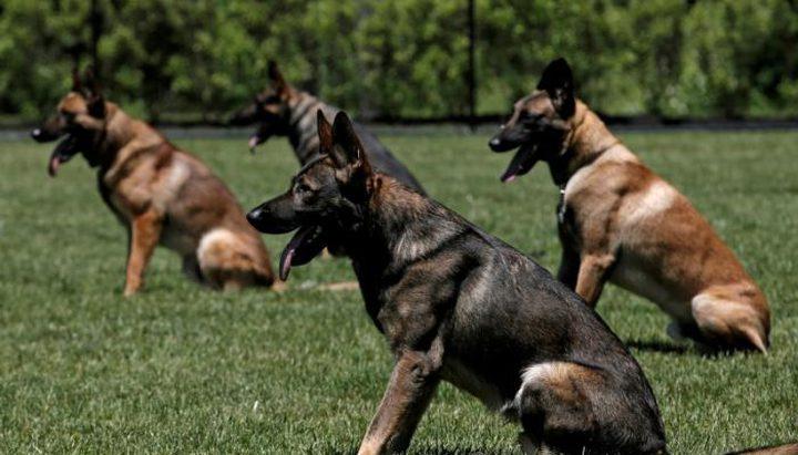 دراسة ألمانية: الكلاب البوليسية تستطيع الكشف عن حالات كورونا