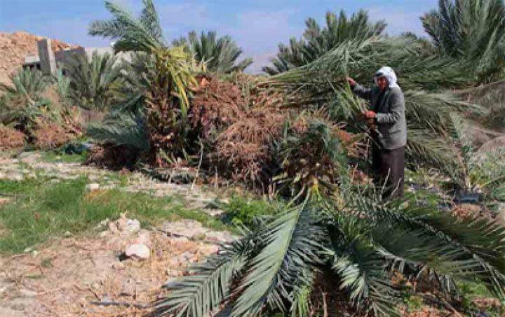 الاحتلال يقتلع أشتالا من النخيل في  بالأغوار