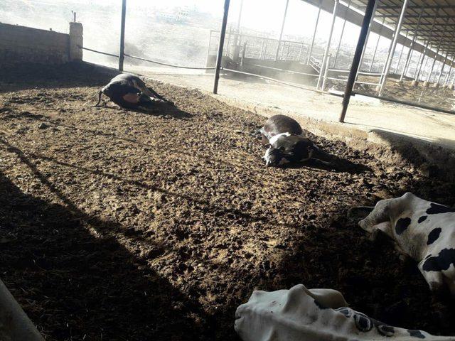 مقتل عشرات الأبقار على يد مسلحين بالخليل