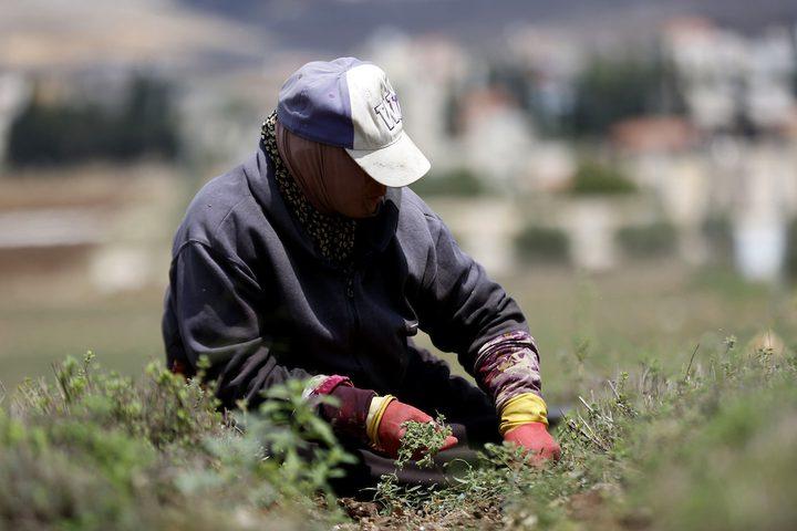 مزارعون يحصدون محصول الزعتر في مدينة جنين