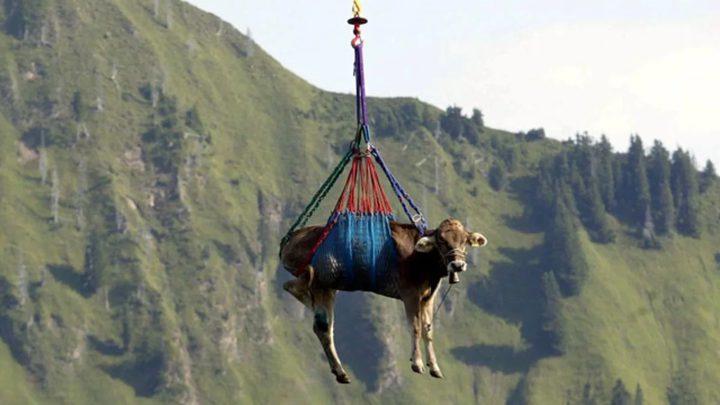 """ما هي قصة صورة """"البقرة الطائرة"""" في جبال الألب السويسرية ؟"""