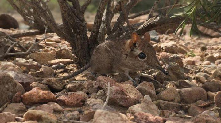 شاهد ظهور حيوان نادر اختفى منذ عام 1968