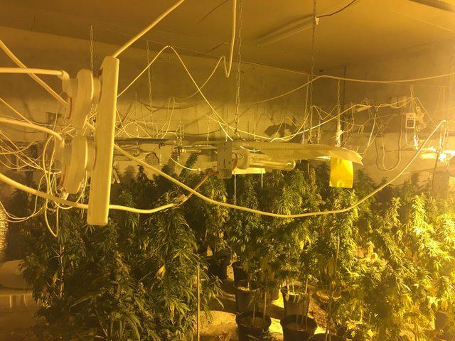 ضبط 220 شتلة ماريجوانا داخل مشتلا للمخدرات في يطا