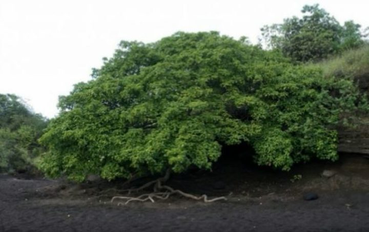 ما هي أخطر شجرة في العالم ؟