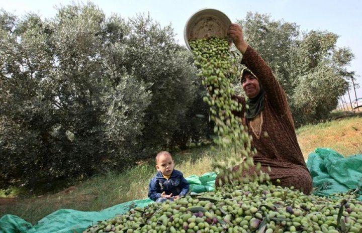 الزراعة تحدد موعد بدء قطف الزيتون في محافظات الوطن
