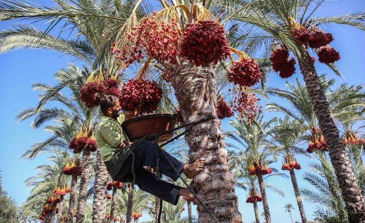 غزة على موعد مع جني ثمار البلح.. فكيف يكون موسمه في ظل كورونا؟