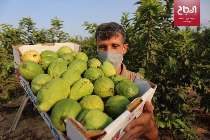 موسم قطف فاكهة الجوافة في مدينة خانيونس