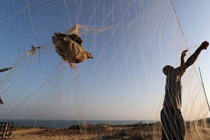موسم صيد طائر السمان في قطاع غزة