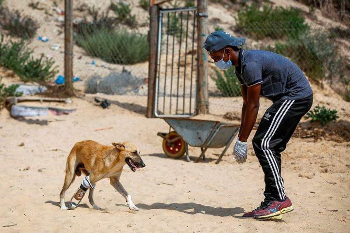 """""""الكلب بيلي"""" يحصل على طرف صناعي تم إنشائه بالأدوات البسيطة المتاحة في قطاع غزة لمساعدته على اكمال حياته بشكل أسهل.  تصوير : ا ف ب"""