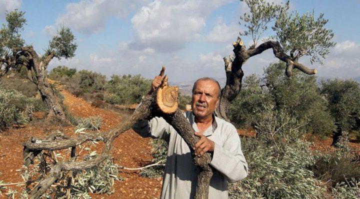 نابلس: مستوطنون يقطعون أشجار الزيتون في قرية الساوية