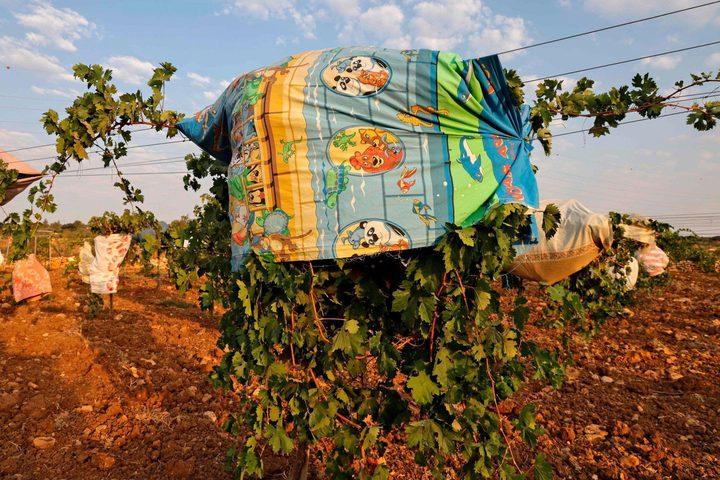 أشجار  عنب مغطاة بقطع قماش لحمايتها من موجة الحر في بيت لحم تصوير : أ.ف.ب