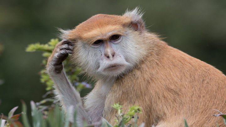 """سويسرا تصوت على على اقتراح منح القردة """"حقوقا أساسية"""" كالبشر"""