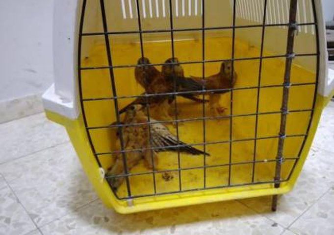 ضبط 4 طيور عوسق في بلدة فقوعة قرب جنين