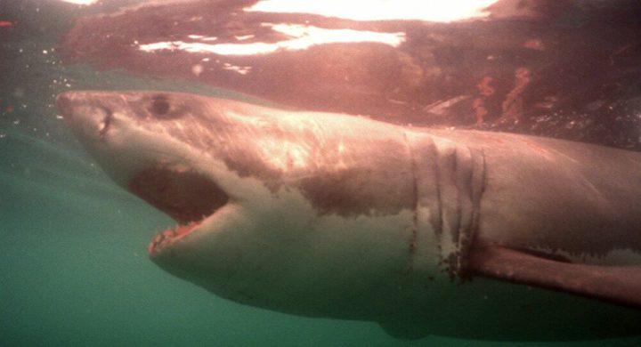 أسماك القرش على حافة الانقراض بسبب كورونا