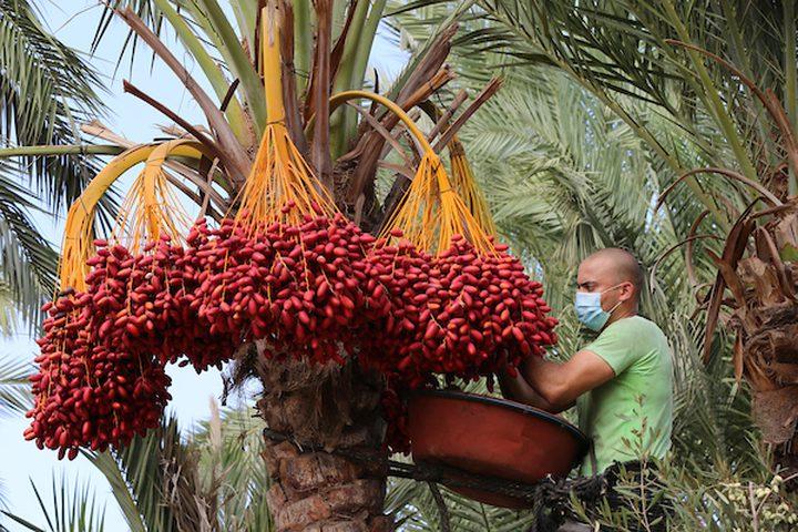 بدء موسم قطف ثمار البلح في قطاع غزة