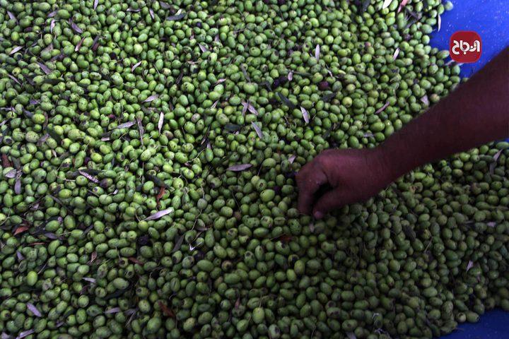 مواطنون يعصرون الزيتون بعد قطف ثماره في غزة