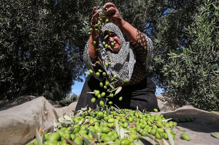 الاحتلال يتربص بموسم الزيتون ويحجر على 3000 دونم
